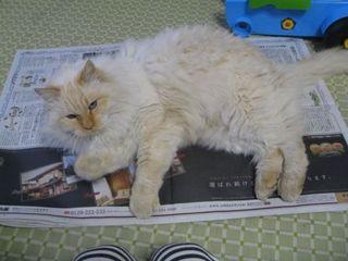新聞に乗る猫.JPG