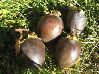 黒柿1.JPG